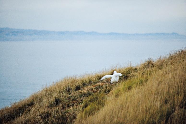 Baby albatross