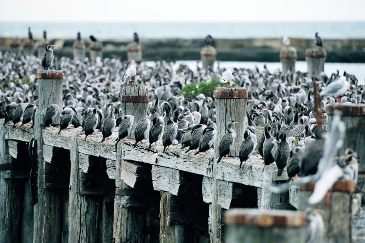 A colony of seabirds at an abandon jetty