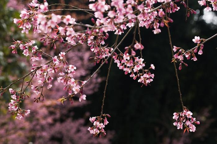 Sakura flower at Hmong Village, Chiang Mai