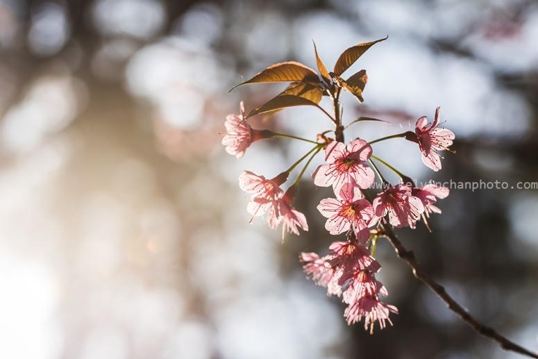 wild himalayan cherry blossom