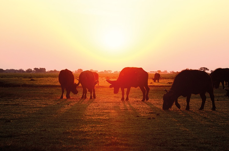wild buffalos at Chobe National Park, Botswana