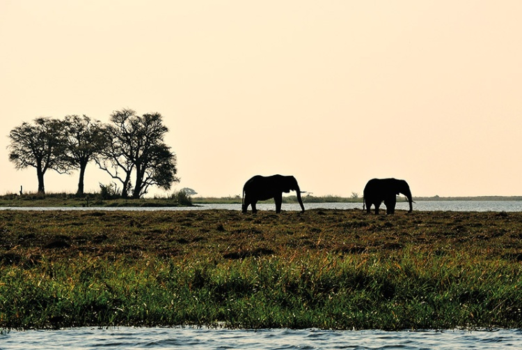 elephant roaming at Chobe National Park, Botswana