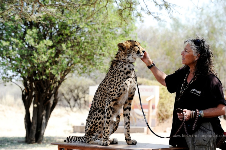 Dr. Laurie Marker of Cheetah Conservation Fund giving a talk with her cheetah