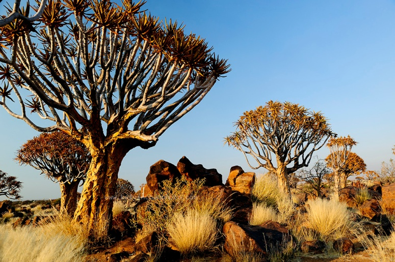 Quiver Tree Forest Keetmanshoop, Namibia