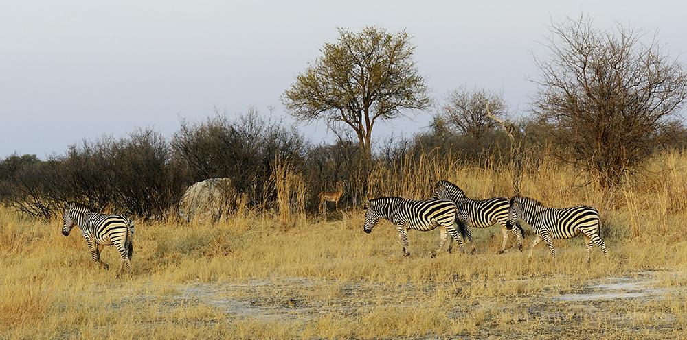 zebras roaming in the park