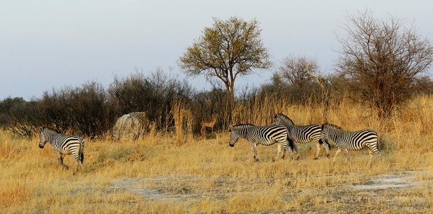 zebras roaming in the park