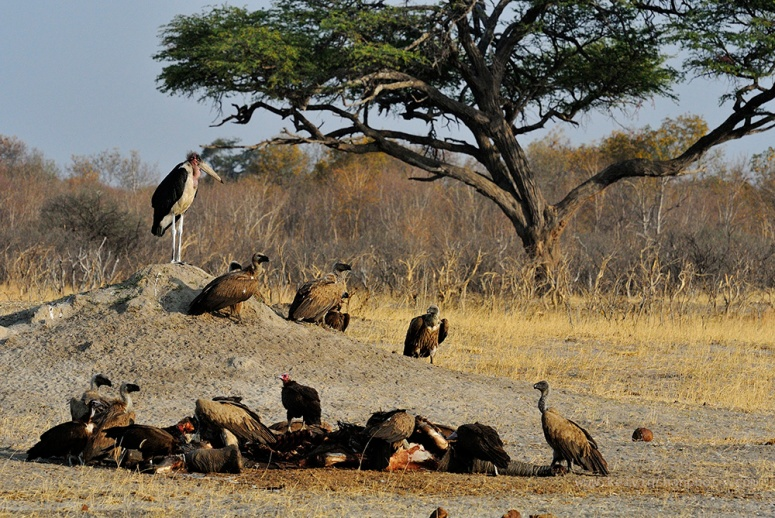 vultures feeding on a elephant carcase that was killed by lions in the park