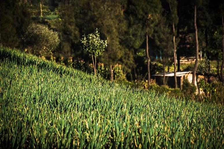 vegetable patch at bromo village