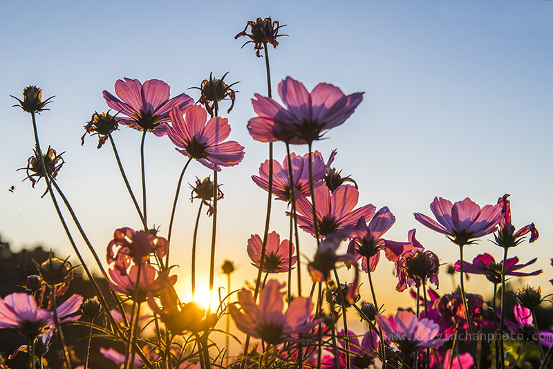 flower danacing agianst setting sun