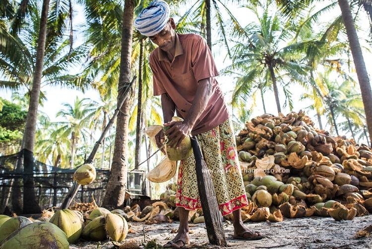 Dehusking coconuts i Kampung Jambu Bongkok, Terengganu, Malaysia