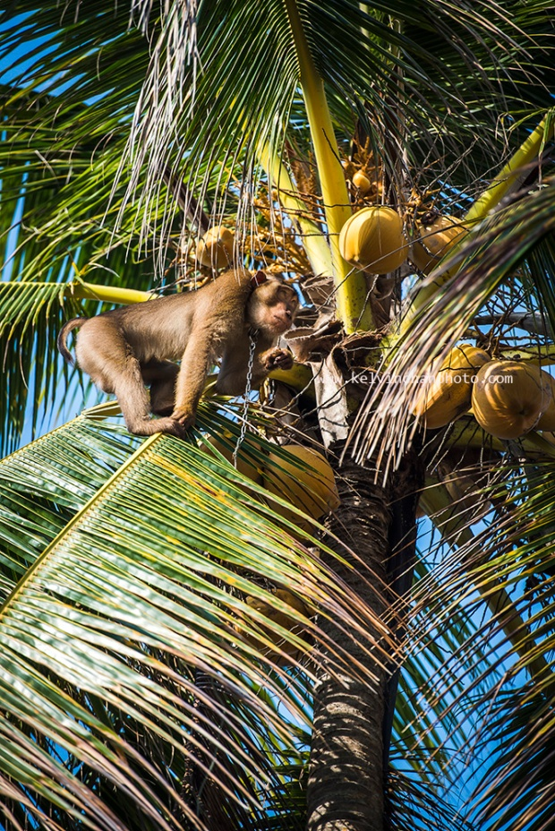 monkey plucking coconuts in Kampung Jambu Bongkok, Terengganu, Malaysia