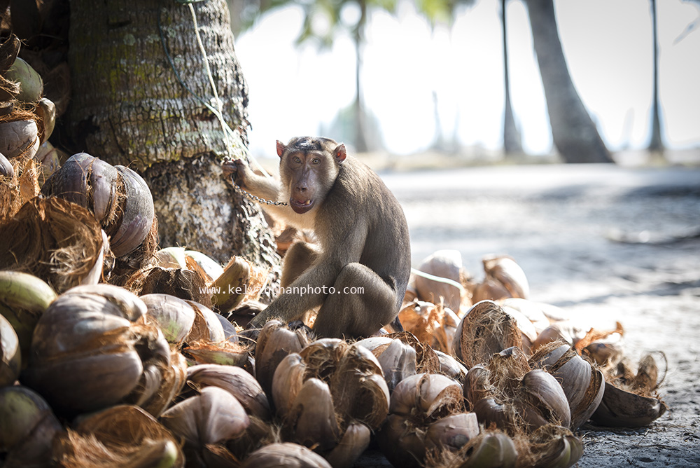 Plucking coconuts in Kampung Jambu Bongkok, Terengganu, Malaysia