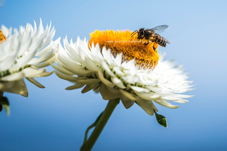 Bee gathering nectar from flowers
