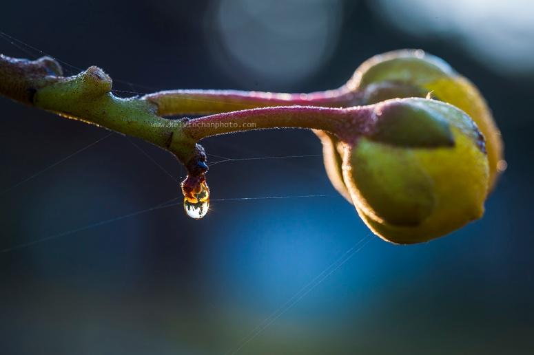 flower bud with dew drop