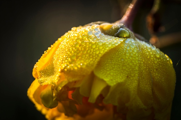 yellow flower with dew droplets